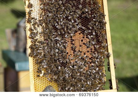 bees with brood comb and queen bee poster