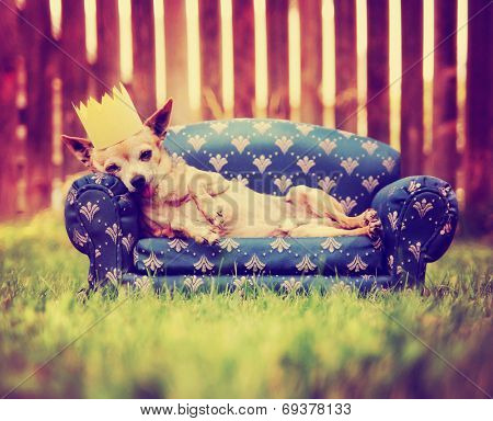 a cute chihuahua with a crown on napping on a couch toned with a retro vintage instagram filter