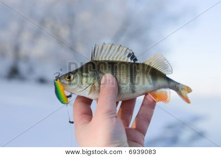 Perch caught on plastic twitchbait on sunny and frosty winter day poster