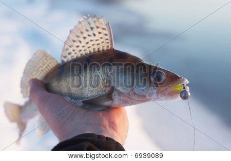 Evening Catch