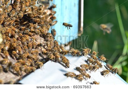 A swarm  of bees at the entrance of beehive in apiary in the summertime poster