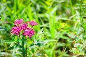 Swamp Milkweed and small butterfly. Seney National Wildlife Refuge. Seney, Michigan. poster