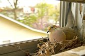 Mourning dove nesting on a window sill poster
