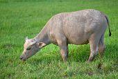 water buffalo grazing in lush green field poster