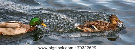 Duck Partnership