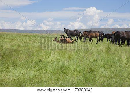 Horse Wallowing In Green Prairie