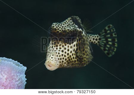 Closeup Of Spotted Trunkfish