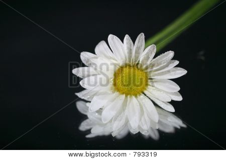 reflections of a daisy