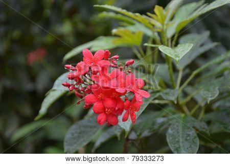 cotton leaved jatropha, Peregrina, Spicy jatropha, Rose-flowered poster