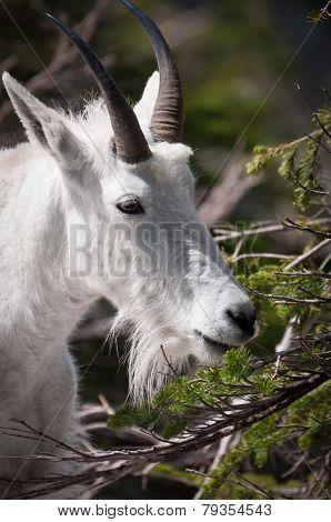 Mountaing Goat Grazing The Pine Needles