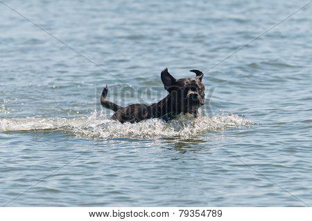 Dog Running Through The Water