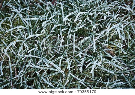Frosted Blades Of Grass