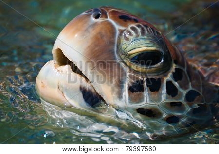 Sea Turtle's Head Above The Water