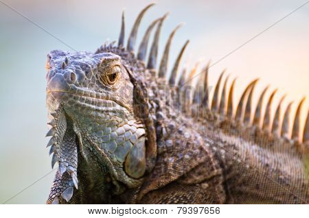 Iguana With Erect Spikes On The Crest