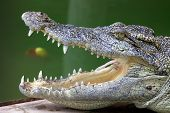 Crocodile side view with mouth open poster