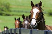 A horse ranch in Kentucky USA with horses standing along a fence. poster