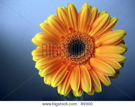 Yellow - Orange Gerbera