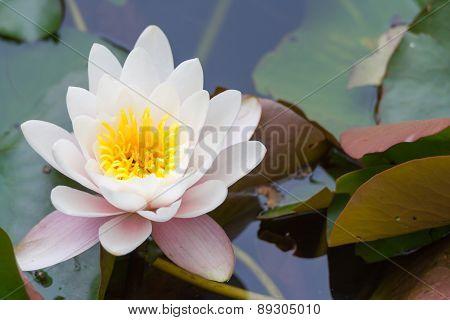 Endangered lotus flower - Nymphaea lotus f. thermalis poster