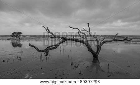 A Lonely Dead Tree At Cape Tribulation, Australia