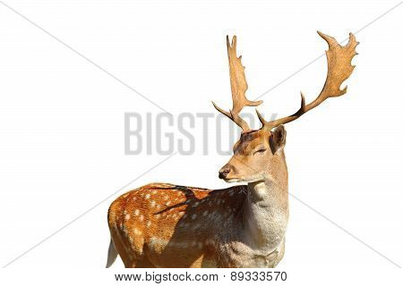 Isolated Fallow Deer Stag