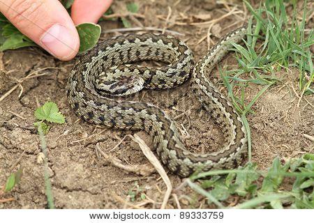 Risky Hand  Approach To A Venomous Viper