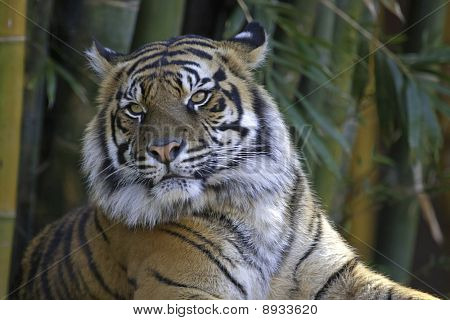 Tiger With Bamboo Background