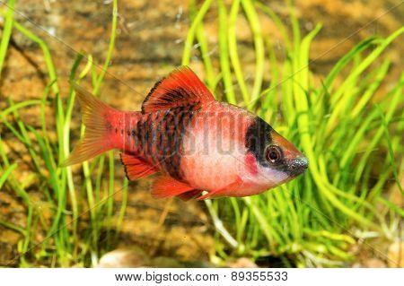 Aquarium Barb Fish