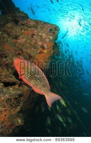 Redlip Parrotfish (Scarus rubroviolaceus)