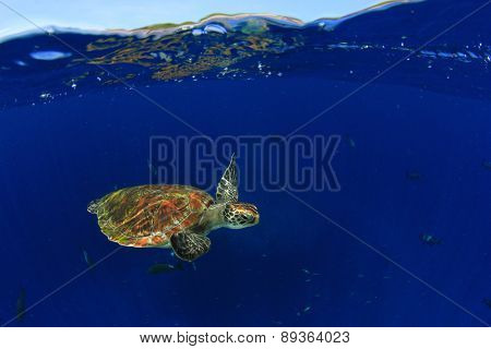 Green Sea Turtle: half and half split shot of underwater turtle and blue sky island above poster