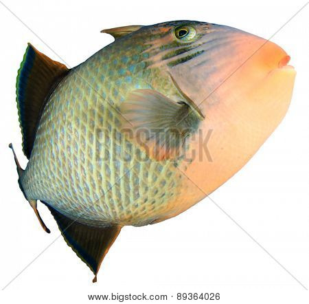 Tropical fish isolated on white: Yellowmargin Triggerfish