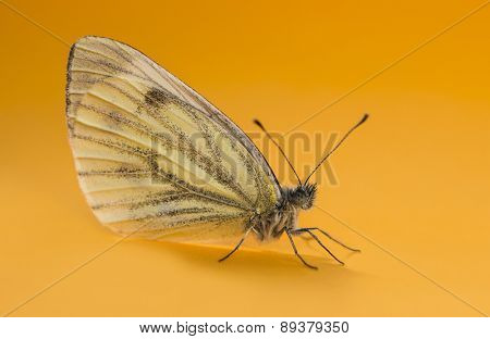 Green-veined white, Pieris napi, in front of an orange background poster