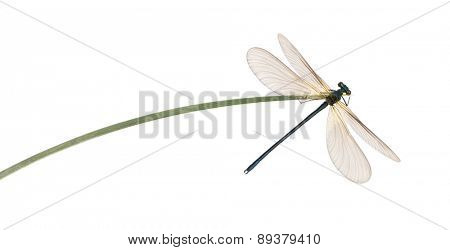 Male beautiful demoiselle, Calopteryx virgo, on a blade of grass in front of a white background