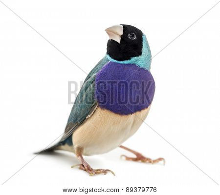 Gouldian Finch, Erythrura gouldiae, in front of a white background