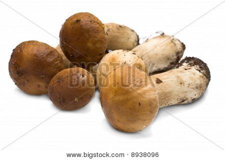 Forest Mushrooms - Boletus Edulis