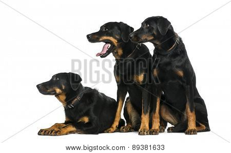 Three Beaucerons in front of a white background