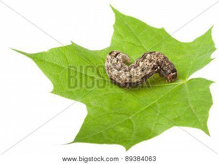 Caterpillar On Maple Leaf