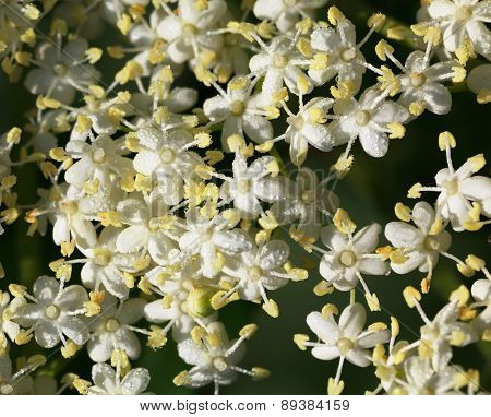 Macro Of Elderflowers