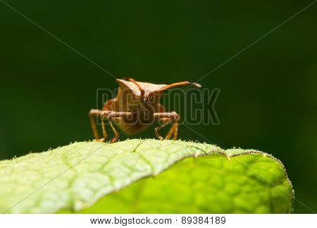 Dock Bug Portrait