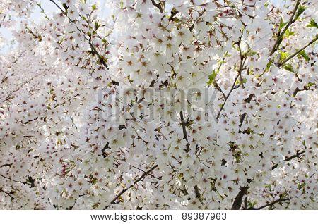 Spring blooming flowers background