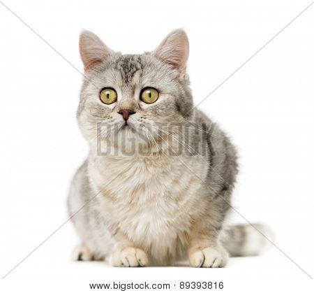 American Polydactyl (10 years old) in front of a white background