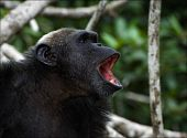 Shout. A chimpanzee in wood widely opening a mouth loudly shouts poster