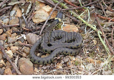British Grass Snake.