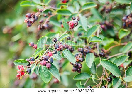 Green twig of irga with ripe berries poster