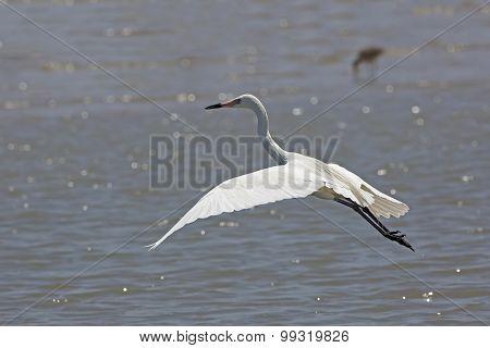 White Morph Of Reddish Egret Taking Flight