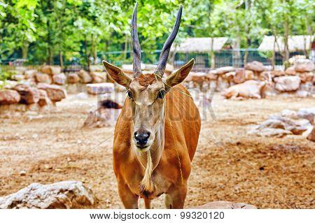 Oryx Gazella. National Forest.