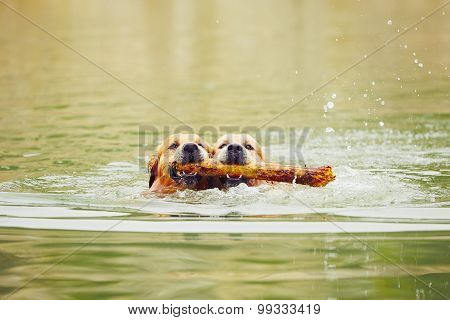 Two Dogs In Lake