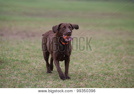 Retriever running through the park.
