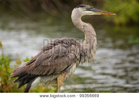 Great Blue Heron Standing By The Water. It Is The Largest North American Heron.