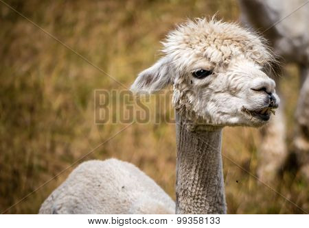 A white llama recently shorn stares in the distance as he stands on a field of grass on a farm