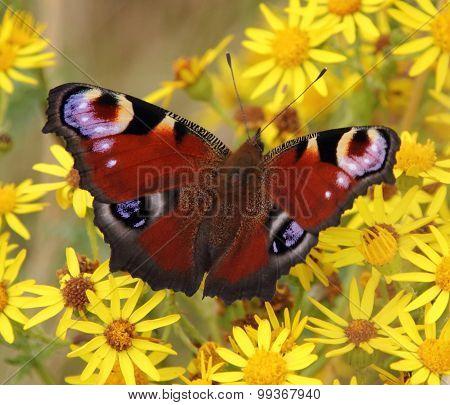 The European Peacock Butterfly, Aglais io